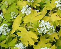 little honey hydrangea Hydrangea quercifolia - Oakleaf Hydrangea Little Honey - the landscape of us