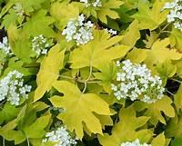 little honey hydrangea Hydrangea quercifolia - Oakleaf Hydrangea Little Honey ...