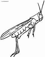 Coloring Cricket Insect Grasshopper Drawing Clipartmag sketch template