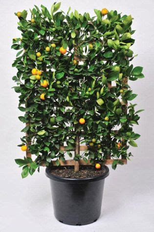 espalier fruit trees in containers espalier a fruit tree in a pot this is why you need a backyard pinterest fruit trees