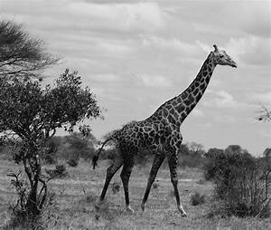 Giraffe in his natural habitat, black and white by ...