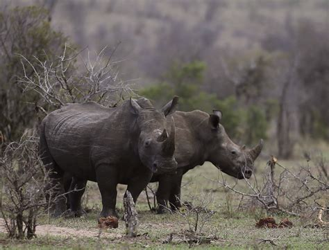 legal trade  rhinoceros horns  save  species