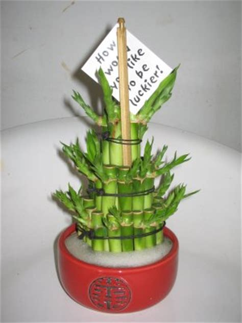 entretien lucky bambou d interieur entretien plantes d int 233 rieur 183 le de la fleuriste