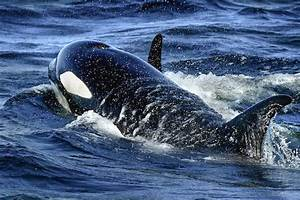 Government Stops Tagging Killer Whales After Death Of Rare