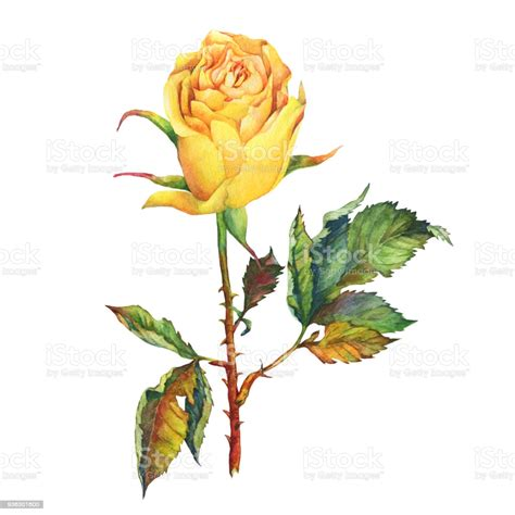A Single Of Beautiful Golden Yellow Rose With Green Leaves