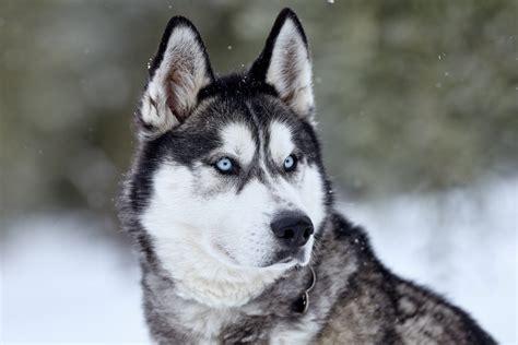 Siberian Husky In The Tuscan Snow ⋆ Italian Wedding