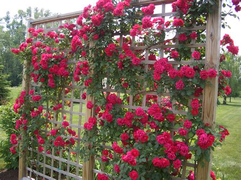 """Tips On Planting """"climbing Roses"""" On A Rose Trellis My"""