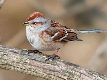 facts  sparrows  birds delight