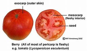 U0026quot Although It Is Called A  U0026quot Vegetable  U0026quot  The Tomato  Lycopersicon Esculentum  Is Technically A