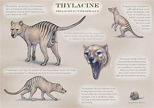 9 Lesser Known Facts About Thylacine A.k.a Tasmanian Wolf ...