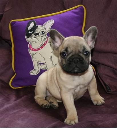 Bulldog French Bulldogs Purple Background Wallpapers Puppy