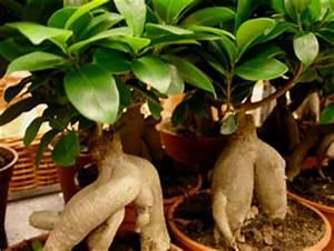 Comment Tailler Un Ficus : ficus figuier ~ Melissatoandfro.com Idées de Décoration