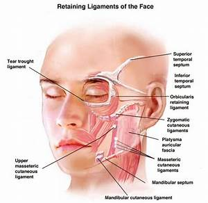 53 Best Images About Facial Anatomy On Pinterest