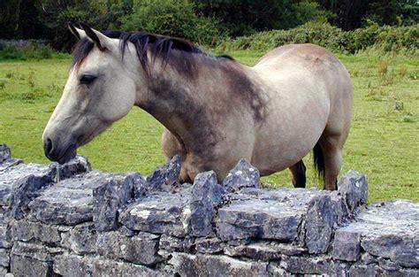 connemara pony horse draught irish petguide breeds