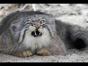 Angry Cats Ready To Fight And Kill.. OMG! (NEW) - YouTube
