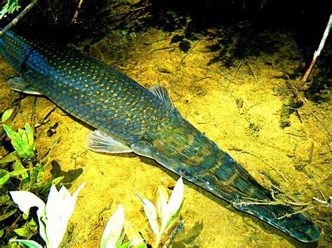 alligator gar atractosteus spatula lewisville texas