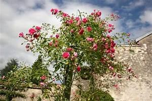 Rosier Grimpant Remontant : rosier grimpant plantation culture et entretien ~ Melissatoandfro.com Idées de Décoration