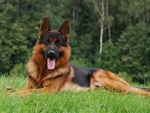 GSD Nice black & red coat | German Shepherds | Pinterest ...