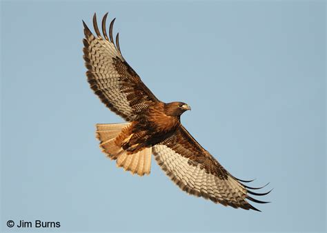 red tailed hawk rufous morph