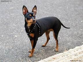 miniature pinscher puppies rescue pictures information temperament characteristics