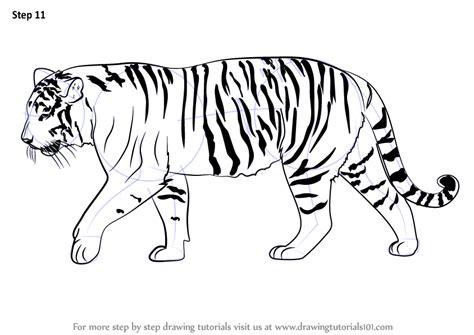 learn   draw  siberian tiger big cats step  step