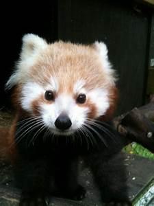 Baby red panda - | Red Pandas | Pinterest