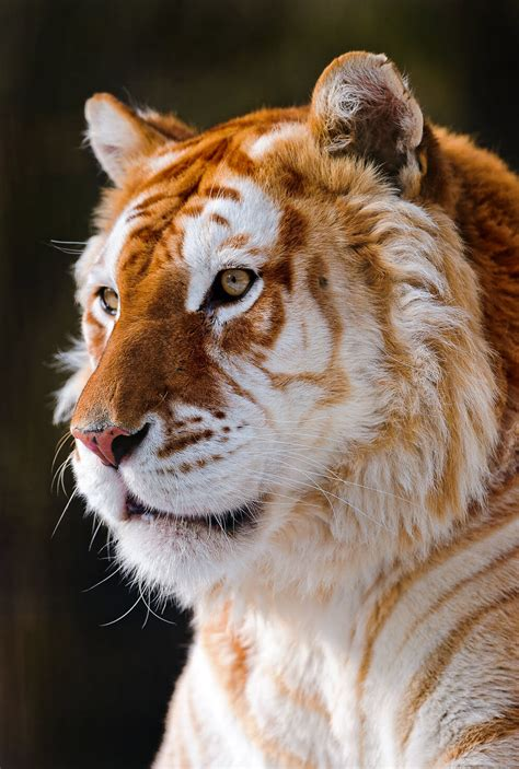 linxspiration blazepress golden tiger