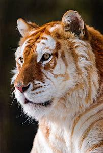 Beautiful Golden Tiger
