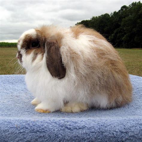 lop rabbit lop rabbits
