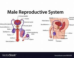 Diagram Reproductive System