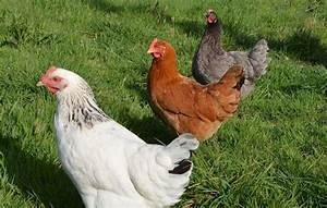 Comment élever Des Poules Pondeuses : guide animaux quelles poules choisir pour mon poulailler ~ Dode.kayakingforconservation.com Idées de Décoration