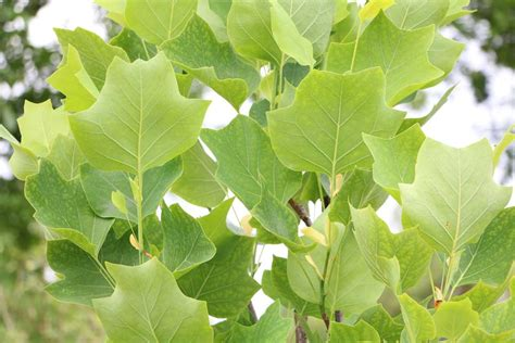 Gehoelze Schneiden Pflanzen Und Pflegen by Tulpenbaum Liriodendron Tulipifera Steckbrief Pflege