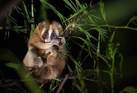 Slow loris study reveals human rhythm of sleep may be ...