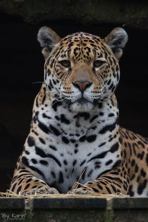 jaguar cat fantastic 17 best images about big cats on panthers