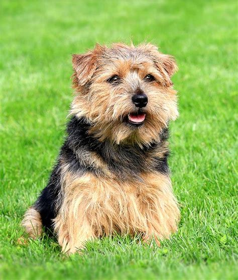 norfolk terrier dog breed information pictures