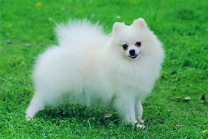 Small White Pomeranian Dog Breeds - ADogBreeds.com