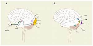 Schematic Surface Drawings Of The Brain To Indicate  A