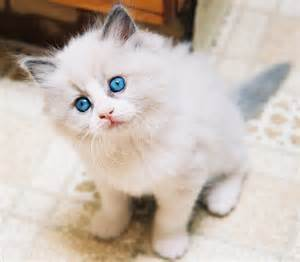 rag doll cat cat picture and information