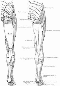 Wiring Diagram  29 Nerves Of The Lower Limb Diagram