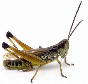 Marsh Meadow Grasshopper | Songs of Insects