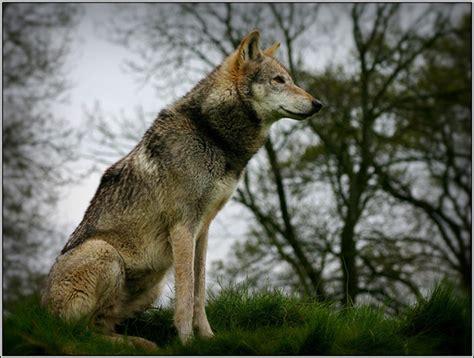 Wolf Spirit Animal Test ⋆ Lonerwolf