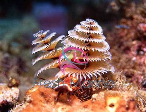 freshmarine com xmas tree worm rock spirobranchus