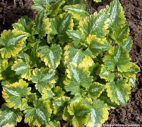lamium greenaway plantfiles pictures spotted dead nettle anne greenaway lamium maculatum by happenstance