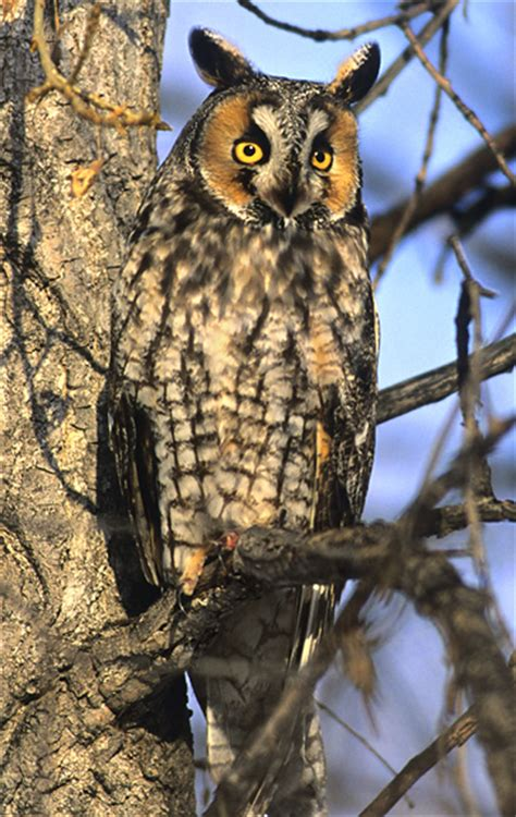 long eared owl nongame  hampshire fish  game