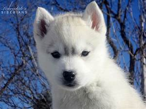 "Grey & white Siberian Husky Puppy! Her name is ""Greige ..."