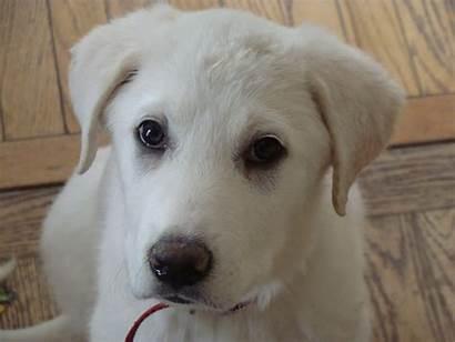 Akbash Puppy Puppies Dog Mix Ruh Rescue