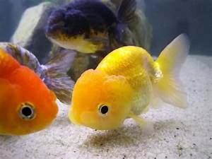 About Ranchu Goldfish – Hail to the King (of goldfish ...