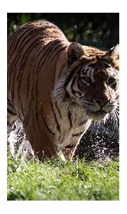 Animal Tiger 4K HD Wallpapers   HD Wallpapers   ID #32241