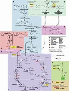 Fig  S5  Schematic Summary Of Major Central Metabolic
