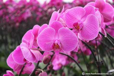 orchids flowers pictures moth orchid flower picture flower pictures 4799